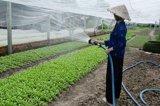 The Cultivation, Service Vegetables, Care, Vegetables