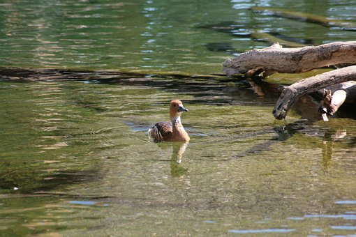 Duck, Ave, Bird, Water, Animal, Nature, Wild Ducks