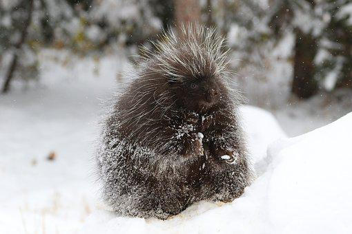 Porcupine, Mammal, Animal, Wildlife, Bristle, Prickly