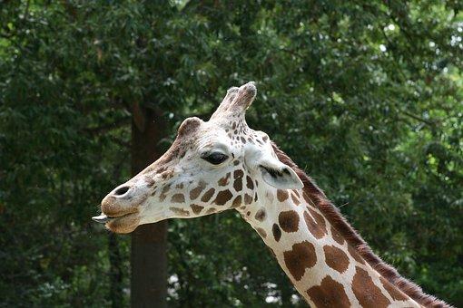 Giraffe, African, Mammal, Safari, Zoo, Cute, Exotic