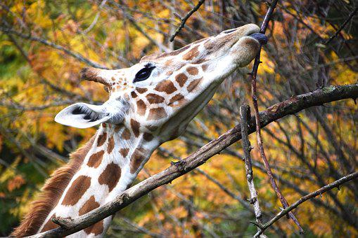 Giraffe, Animal, Zoo, Nature, Africa, Neck, Fauna