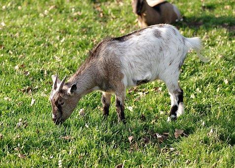 Goat, White, Gray, Animal, Village, Mammal, Buck, Horns