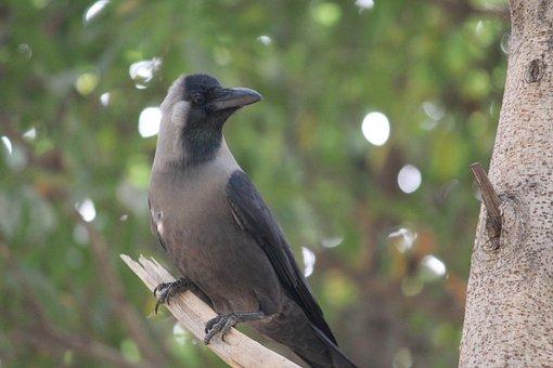 Crow, Bird, Aves, Branch, Tree, Black