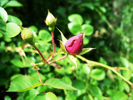 Rose, Wild, Flower, Bush, Magenta, Red, Rosebud, Bud