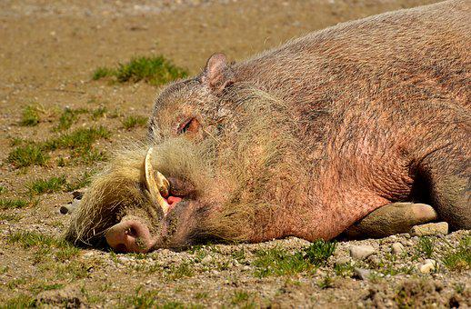 Boar, Sleep, Relaxed, Concerns, Wild, Pig, Sow
