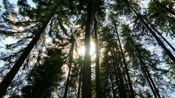 Forest, Tree, Shadow, Green, The Sun, Foliage, Needles