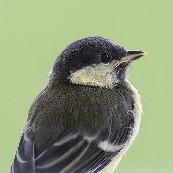 Bird, Tit, Juvenile