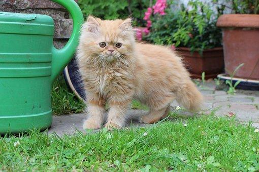 Cat, Kitten, Red Tomcat, Furry, Pet