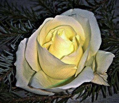 Rose, Floribunda, Single Bloom, White, Pale Yellow