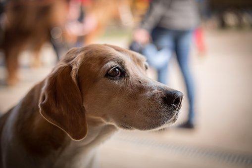 Dog, Begging, Sad, Pet, Animal, Good, Eyes, View