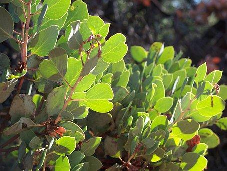 Manzanita, Bush, Plant, Tree, Arctostaphylos, Branches