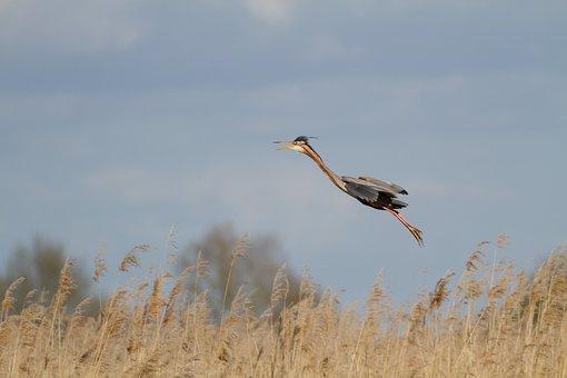Heron, Purple, Flight