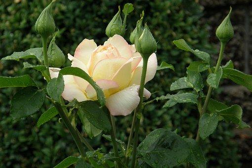 Rose, Floribunda, Yellow-pink, Bud, Rosebud