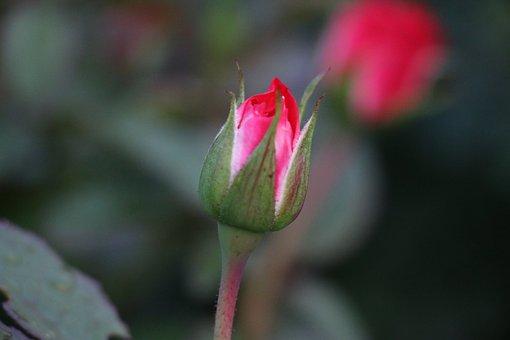 Rose Bud Love, Romance, Romantic, Rosebud, Red, Rose