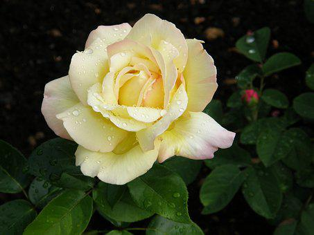 Rosebud, Filled Bud, Floribunda, Yellow-pink, Raindrop