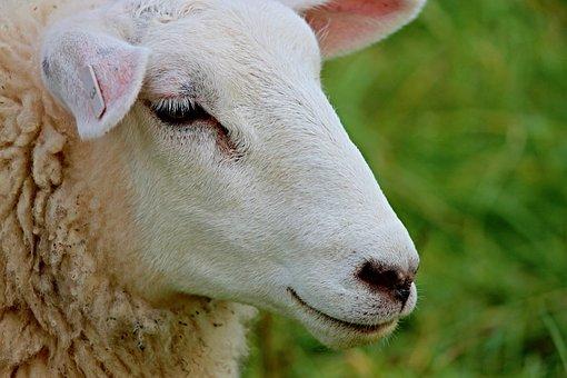 Sheep, Portrait, Sheepshead, Face, Wool, Animal