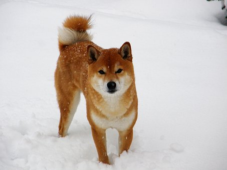 Shiba, Snow, Winter, Shiba Inu, Japanese Spitz, Animal