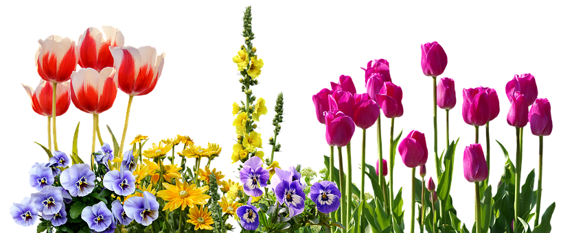 Pansy, Tulips, Spring, Flowers, Flower Bed, Plant