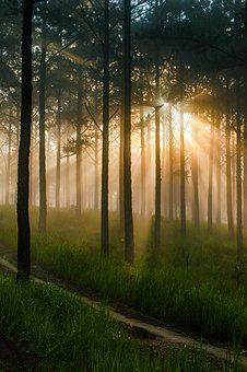Pine Forest, Mist, Sunshine, In The Early Morning, Dawn