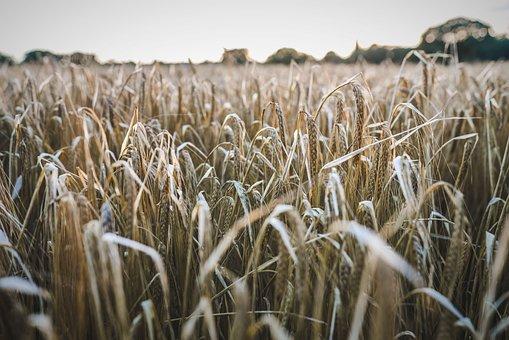 Field, British, Farm, Agriculture, Farming, Uk