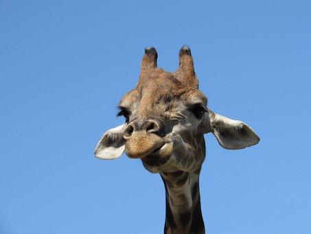 Giraffe, Animal, Animals, Zoo, Africa, Living Nature