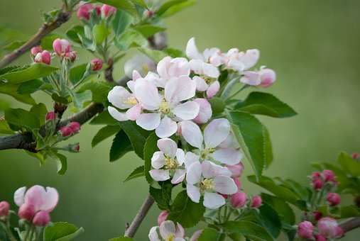 Manzano, Flowering, Spring, Tree, Antioxidants, Fruits
