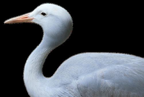 Bird, Crane, Feather, White, Wing, Bill, Yellow, Flying