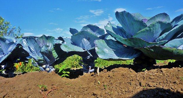 Kohl, Vegetables, Garden, Blue Cabbage, Vegetable Patch