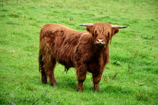 Highlandrind, Pasture, Brown, Shaggy