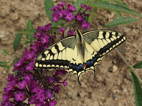 Swallowtail, Butterfly, Butterfly Wings, Flying Insects