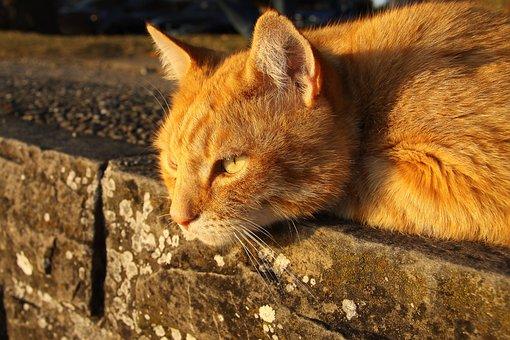 Cat, Pet, Red Cat, Cute, Lying