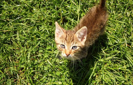 Kitten, Cat, Pets, Pet, Nature, Friendly, Tabby, Calm