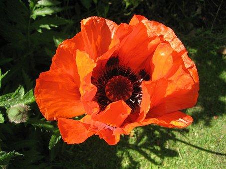 Poppy, Red, Flower, Orange, Black, Plant, Nature, Flora