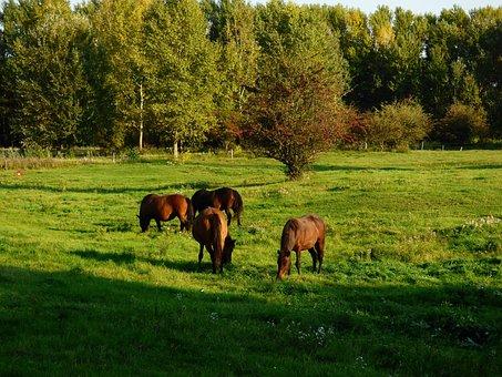 Horses, Grazing, Nature, Meadow, Hucul, Herd, Horse
