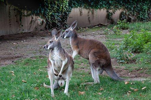 Kangaroo, Marsupial, Zoo, Australia, Mammal