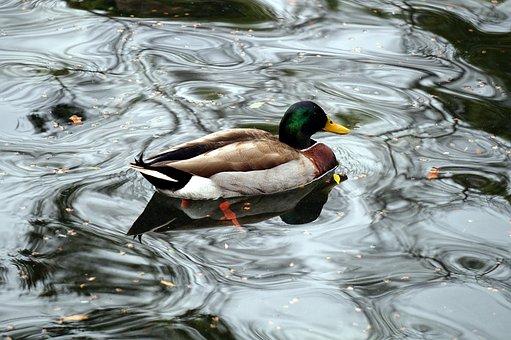 Duck, Animal, Nature, Waterfowl, Fauna, Pen, Beauty