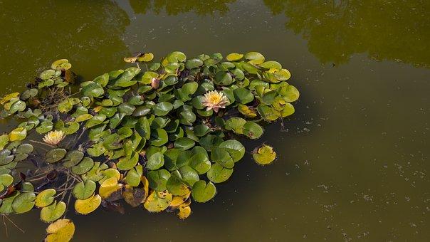 Water Lilies, Pond, Aquatic Plant, Lake Rose, Water