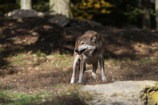 Wolf, Timberwolf, Predator, Canada