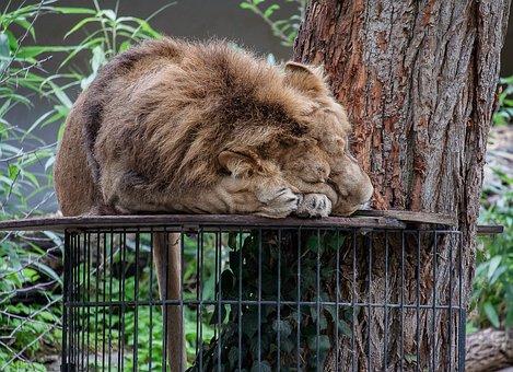 Lion, Predator, Zoo, Male, Cat