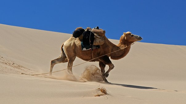 Mongolia, Desert, Camel, Dune, Movement