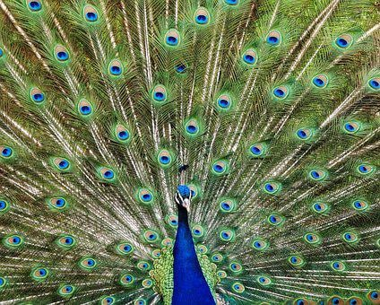 Peacock, Bird, Feather, Animal, Pride, Colorful
