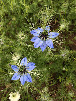Flower, Love-in-a-mist, Blue, Bloom