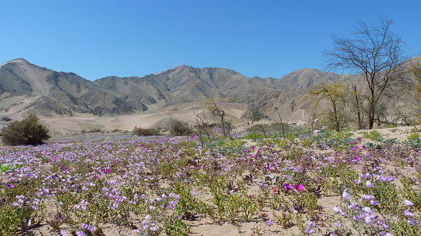 Flowery, Copiapo, Chile