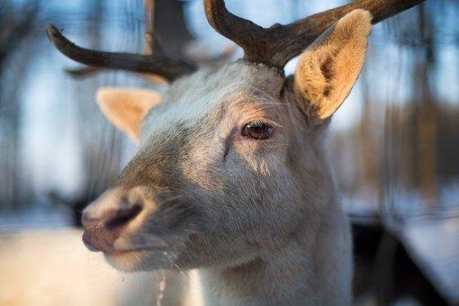 Hirsch, Christmas, Animal, Close, Snow, Forest