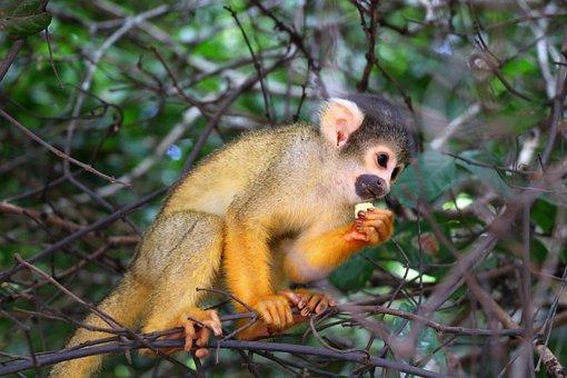 Monkey, Bolivia, Amazon, Jungle, Landscape, Nature