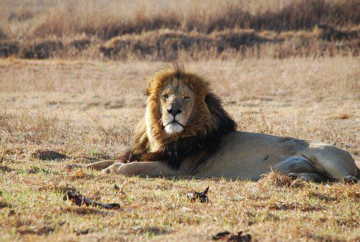 Lion Male, South Africa, Wildlife