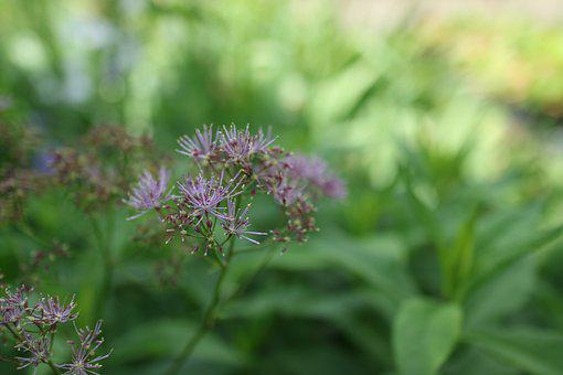 Thalictrum, Meadow Rue, Columbine, Flower, Filigree