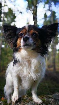 Dog, Chihuahua, Profile