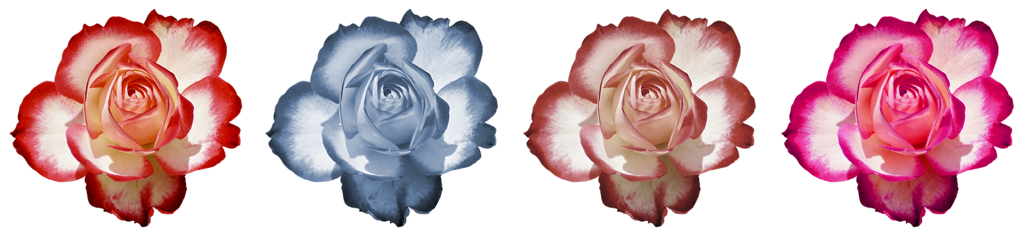 Rose, Flower, Rose Blooms, Beauty, Romantic, Fragrance