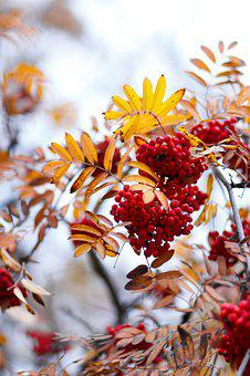 Rowan, Autumn, Tree, Leaves Mountain Ash